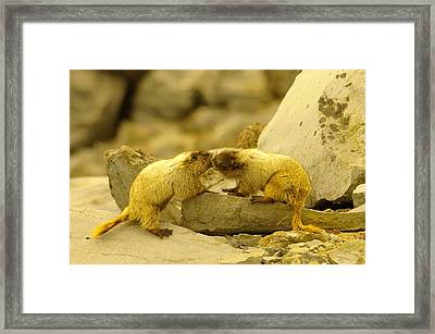 Marmots Kissing Framed Print by Jeff Swan