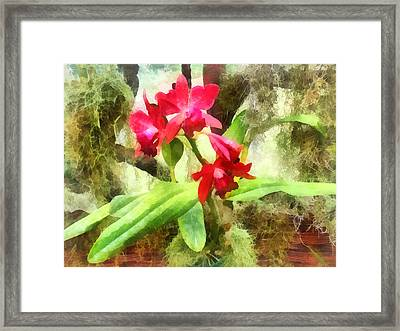 Maroon Cattleya Orchids Framed Print by Susan Savad