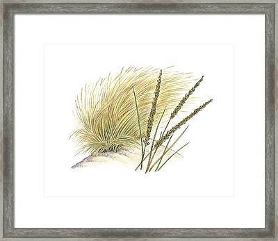 Marram Grass (ammophila Arenaria) Framed Print by Science Photo Library