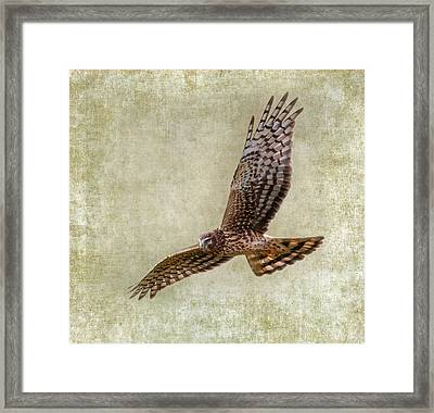 Marsh Hawk Framed Print by Angie Vogel