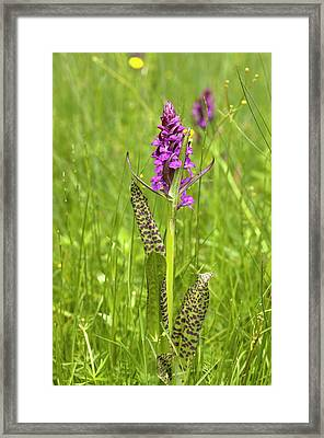 Marsh Orchid (dactylorhiza Majalis) Framed Print by Bob Gibbons