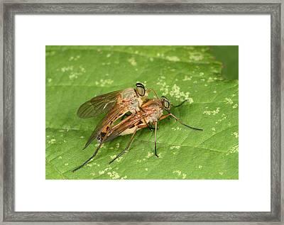 Marsh Snipeflies Framed Print by Nigel Downer