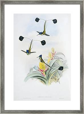 Marvellous Spatuletails, Artwork Framed Print by Science Photo Library