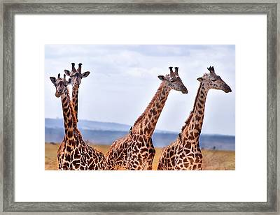Masai Giraffe Framed Print by Adam Romanowicz