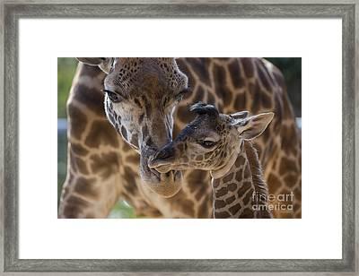 Masai Giraffe And Calf Framed Print by San Diego Zoo