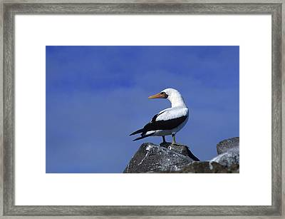 Masked Booby Bird Framed Print by Thomas Wiewandt