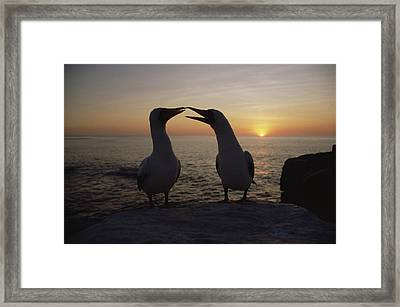 Masked Booby Couple Courting Galapagos Framed Print by Konrad Wothe