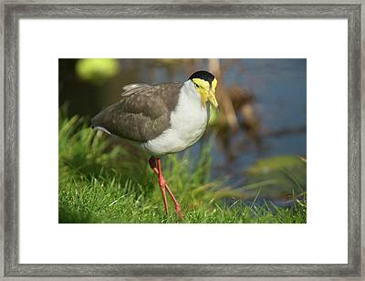 Masked Lapwing Framed Print by Bob Gibbons