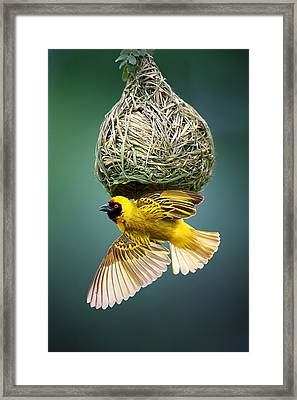 Masked Weaver At Nest Framed Print by Johan Swanepoel