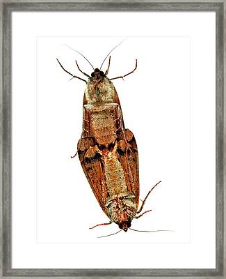Mating Moths Framed Print by Ian Gowland