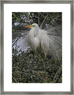 Mating Plumage Framed Print by Deborah Benoit