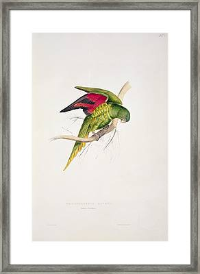 Matons Parakeet Framed Print by Edward Lear