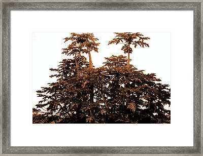 Maui Coconut Palms Framed Print by J D Owen
