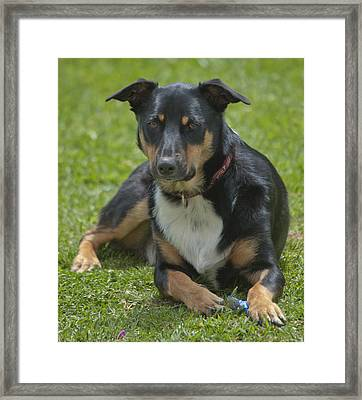 Max Kelpie Border Collie Cross Framed Print by Patrick OConnell
