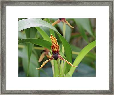 Maxillaria Orchid (camaridium Praestans) Framed Print by Neil Joy