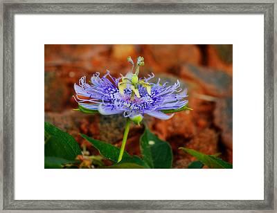 Maypop Flower Framed Print by Adam LeCroy