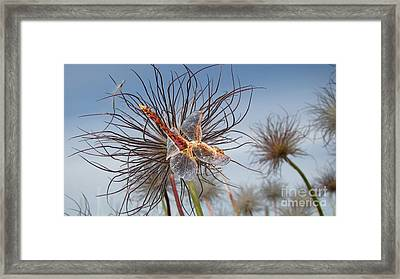 Meadowhawk Dragonfly Framed Print by Beverly Guilliams