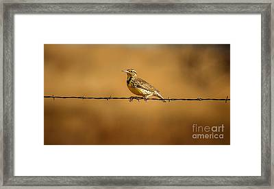Meadowlark And Barbed Wire Framed Print by Robert Frederick