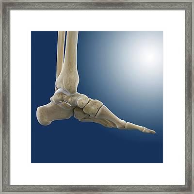 Medial Foot And Ankle Bones Framed Print by Springer Medizin
