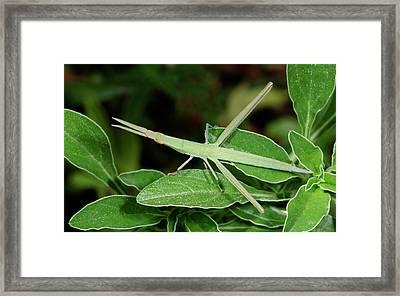 Mediterranean Slant-faced Grasshopper Framed Print by Nigel Downer