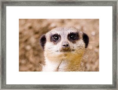 Meerkat Framed Print by Daniel Kocian