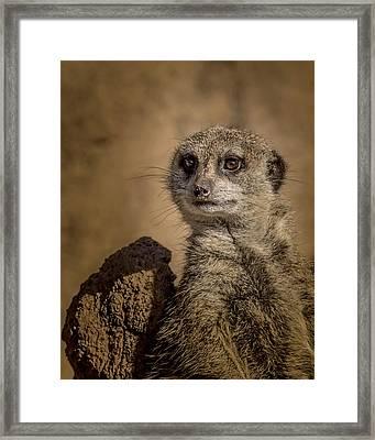 Meerkat Framed Print by Ernie Echols