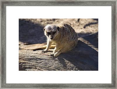 Meerkat Resting On A Rock Framed Print by Chris Flees