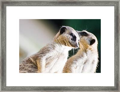 Meerkats Framed Print by Daniel Kocian