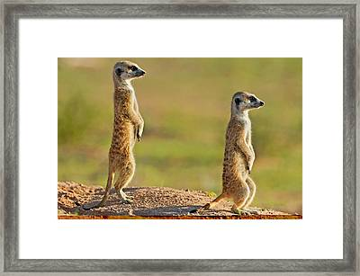 Meerkats Keeping Watch Framed Print by Science Photo Library
