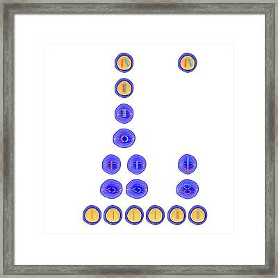 Meiosis And Mitosis Framed Print by Science Photo Library