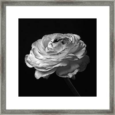 Black And White Roses Flowers Art Work Macro Photography Framed Print by Artecco Fine Art Photography
