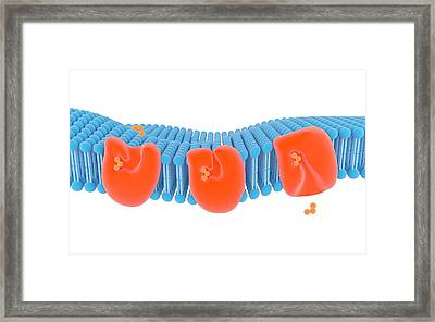 Membrane Carrier Proteins Framed Print by Science Photo Library