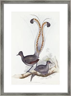 Menura Superba Shaw Framed Print by John Gould