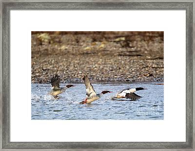 Merganser Flight Framed Print by Mike Dawson