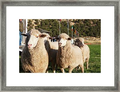 Merino Sheep, Flags In Background Framed Print by Piperanne Worcester