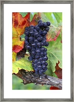 Merlot Grapes Framed Print by Kevin Miller