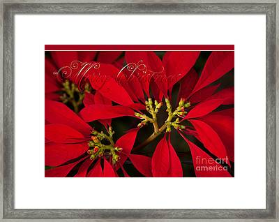 Merry Christmas - Poinsettia  - Euphorbia Pulcherrima Framed Print by Sharon Mau