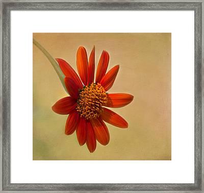 Mexican Orange Sunflower Framed Print by Kim Hojnacki