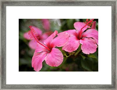 Mexico, Cozumel, Hibiscus Framed Print by Jim Engelbrecht