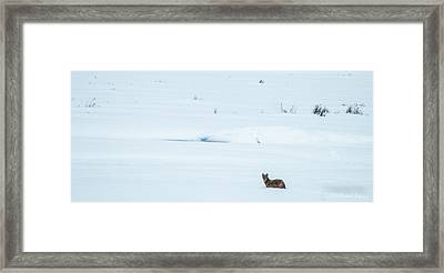 Michigan Coyotee  Framed Print by Optical Playground By MP Ray
