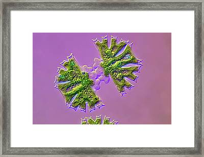 Micrasterias Desmid Dividing Framed Print by Frank Fox