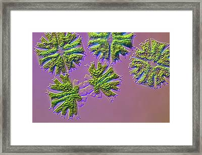 Micrasterias Desmids Dividing Framed Print by Frank Fox