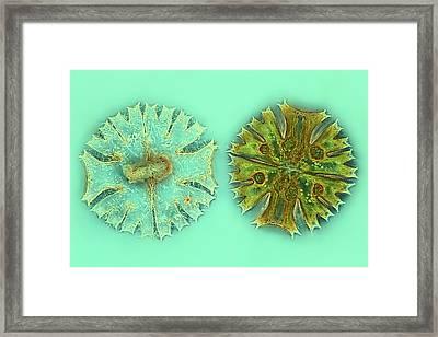 Micrasterias Desmids Framed Print by Frank Fox