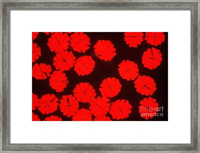Micrasterias Framed Print by P. Dayanandan