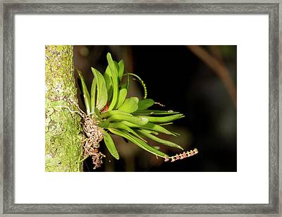 Micro Orchid Framed Print by Dr Morley Read
