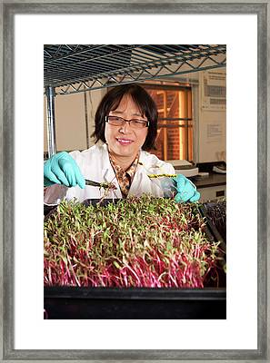 Microgreen Nutrient Research Framed Print by Peggy Greb/us Department Of Agriculture