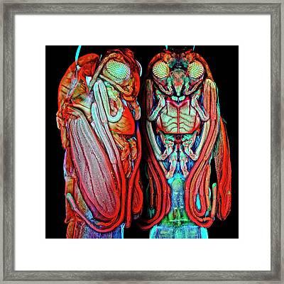 Midge Pupa Framed Print by Igor Siwanowicz