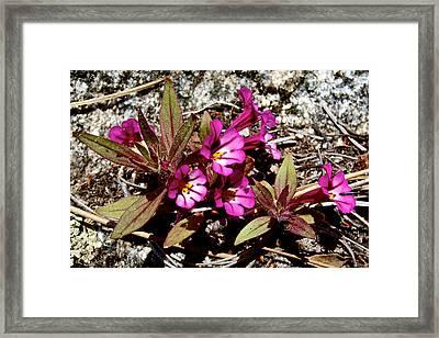 Midget Phlox In Park Sierra-ca Framed Print by Ruth Hager