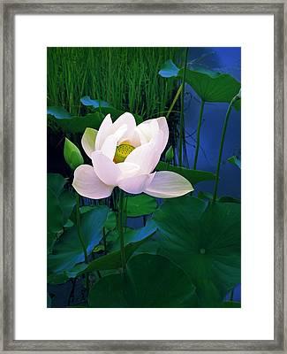 Midnight Lotus Framed Print by Jessica Jenney