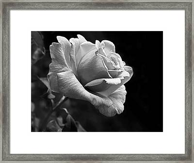 Midnight Rose In Black And White Framed Print by Jennie Marie Schell
